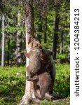 brown bear cub climbs a tree.... | Shutterstock . vector #1204384213