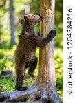 brown bear cub climbs a tree.... | Shutterstock . vector #1204384216