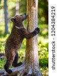 brown bear cub climbs a tree.... | Shutterstock . vector #1204384219