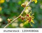 hamamelis or witch hazel in...   Shutterstock . vector #1204408066