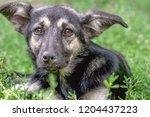 portrait of a homeless dog...   Shutterstock . vector #1204437223