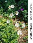 snowdrop anemone  anemone...   Shutterstock . vector #1204452043