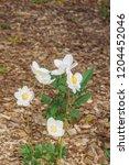 snowdrop anemone  anemone...   Shutterstock . vector #1204452046