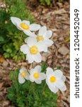 snowdrop anemone  anemone...   Shutterstock . vector #1204452049