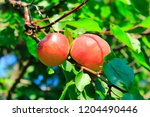 ripe apricot fruits on branch.... | Shutterstock . vector #1204490446