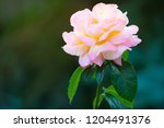 coral rose flower in roses... | Shutterstock . vector #1204491376