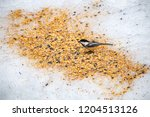a black capped chickadee eating ... | Shutterstock . vector #1204513126