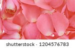 pink rose petals close up for... | Shutterstock . vector #1204576783