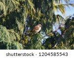 eurasian tree sparrow sitting... | Shutterstock . vector #1204585543