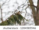 eurasian tree sparrow sitting... | Shutterstock . vector #1204585546