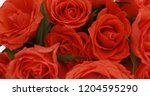 valentine's day roses close up. | Shutterstock . vector #1204595290