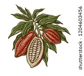 cacao beans plant  vector... | Shutterstock .eps vector #1204603456