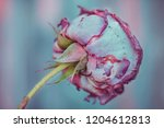rose bud on a blue background ... | Shutterstock . vector #1204612813