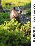 brown bear cub in the summer... | Shutterstock . vector #1204613020