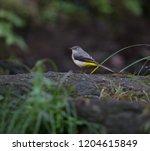 grey wagtail  motacilla cinerea ... | Shutterstock . vector #1204615849