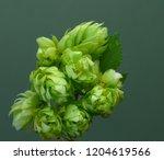 hop branch on green background. | Shutterstock . vector #1204619566