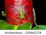 Lynx Spider With The Red Flowe...