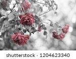 red roses in the garden  retro... | Shutterstock . vector #1204623340