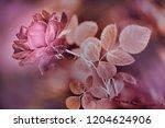 pink rose in the garden.... | Shutterstock . vector #1204624906