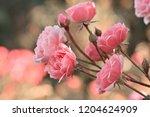 pink roses in the garden  a... | Shutterstock . vector #1204624909