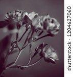 buds of garden roses. black and ... | Shutterstock . vector #1204627060
