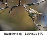regulus warblers bird | Shutterstock . vector #1204631590