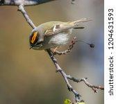 regulus warblers bird | Shutterstock . vector #1204631593