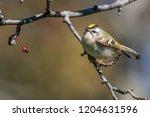 regulus warblers bird | Shutterstock . vector #1204631596