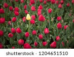 red spring tulips  one yellow | Shutterstock . vector #1204651510