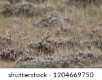 mccown's longspur  juvenile  | Shutterstock . vector #1204669750