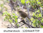 house wren  troglodytes aedon  | Shutterstock . vector #1204669759
