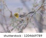verdin  auriparus flaviceps  | Shutterstock . vector #1204669789