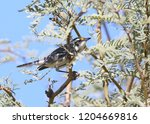 black throated gray warbler ... | Shutterstock . vector #1204669816
