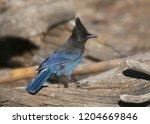steller's jay  cyanocitta... | Shutterstock . vector #1204669846
