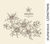 manuka  leaves and flowers of... | Shutterstock .eps vector #1204674646
