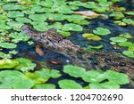A Caiman In The River With...