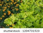 sweet caroline sweetheart lime... | Shutterstock . vector #1204731523