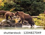 Mother Bear Fishing With Cubs...