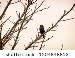 adult common starling  sturnus... | Shutterstock . vector #1204848853