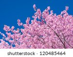 Blooming Tree In Spring With...