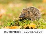 hedgehog  wild  native ... | Shutterstock . vector #1204871929