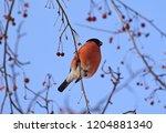 bullfinch bird on a tree branch. | Shutterstock . vector #1204881340