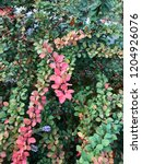 colorful leaves bush. nature... | Shutterstock . vector #1204926076