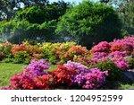 Azalea Bushes In Bloom