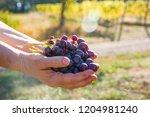 female winemaker is holding...   Shutterstock . vector #1204981240