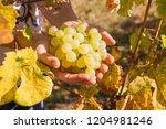female winemaker is holding...   Shutterstock . vector #1204981246