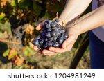 female winemaker is holding...   Shutterstock . vector #1204981249