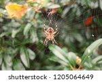 Brown Orb Spider On Thin White...