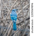 the blue jay is a passerine... | Shutterstock . vector #1205069896