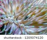 condylactis anemone condylactis ...   Shutterstock . vector #1205074120